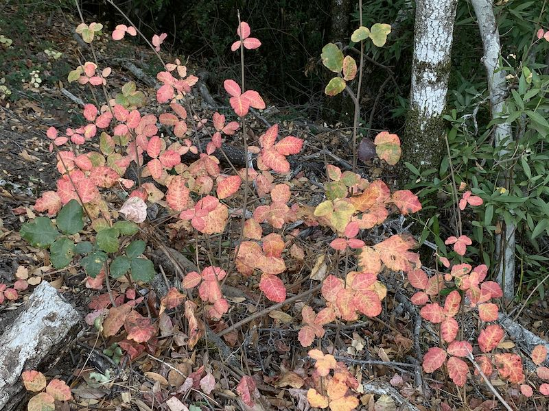 Fall colors: poison oak