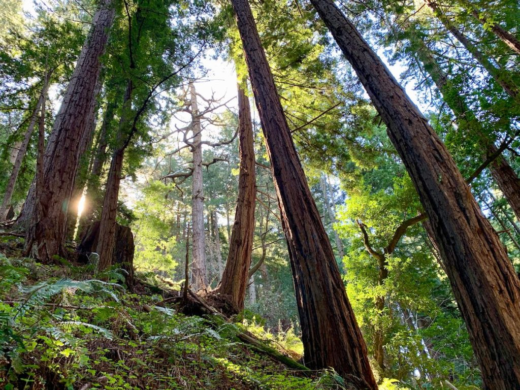 Coastal Redwoods on a hillside
