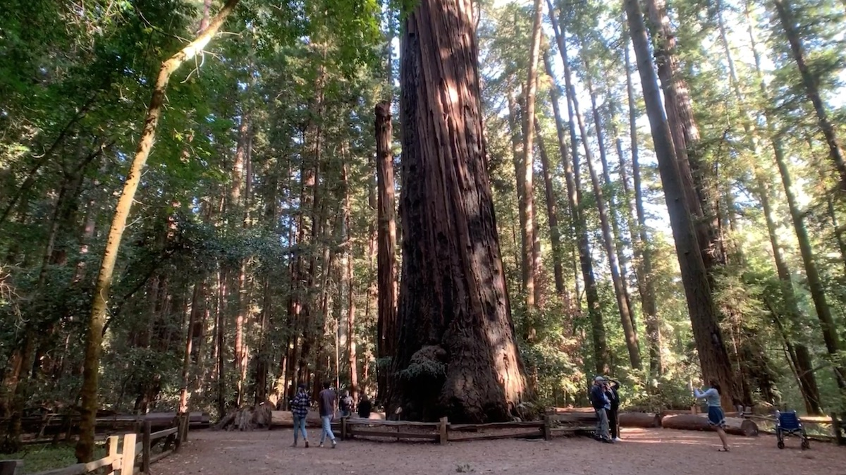 'The Giant' redwood tree